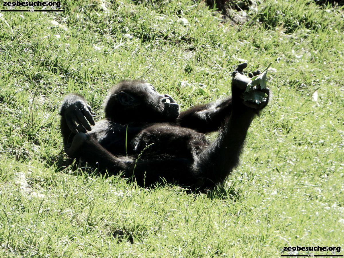Gorilla Jungtier Tara  (6)