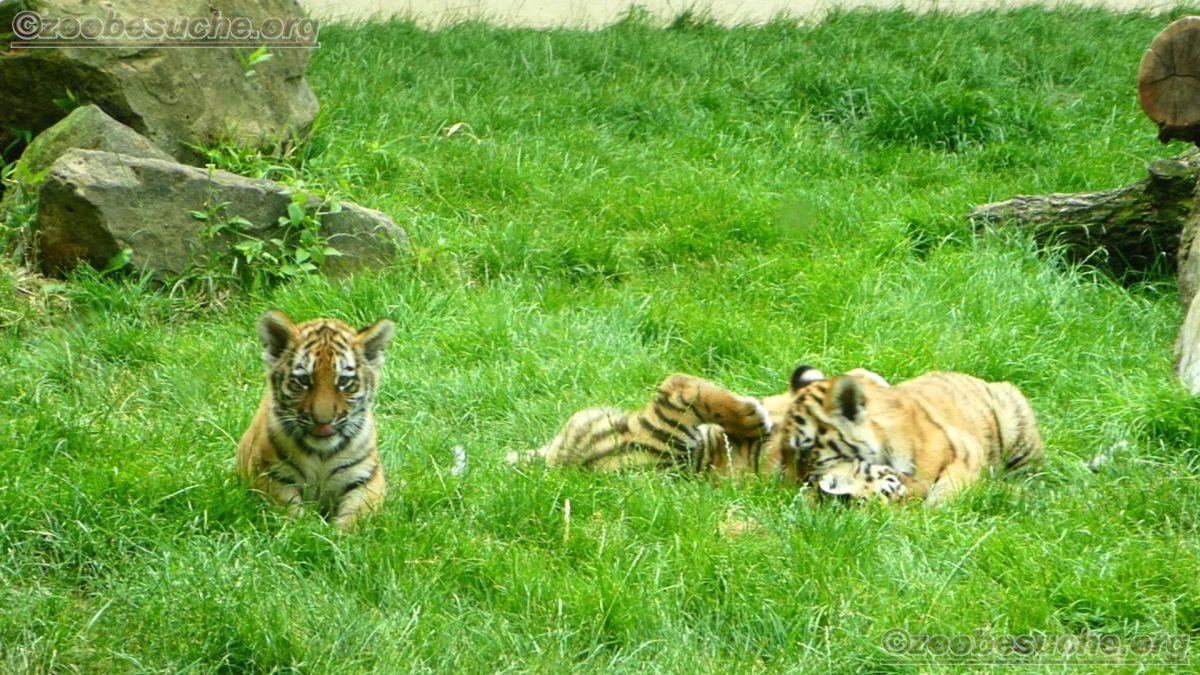 Tiger Jungtiere  (4)