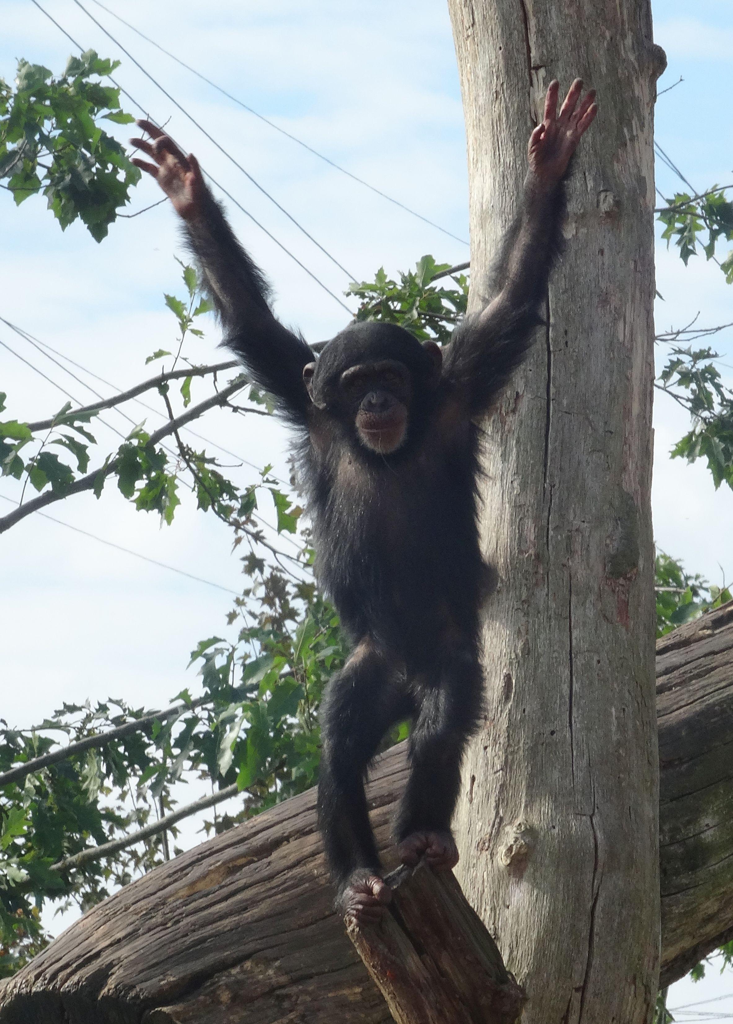 Schimpansen  (8)