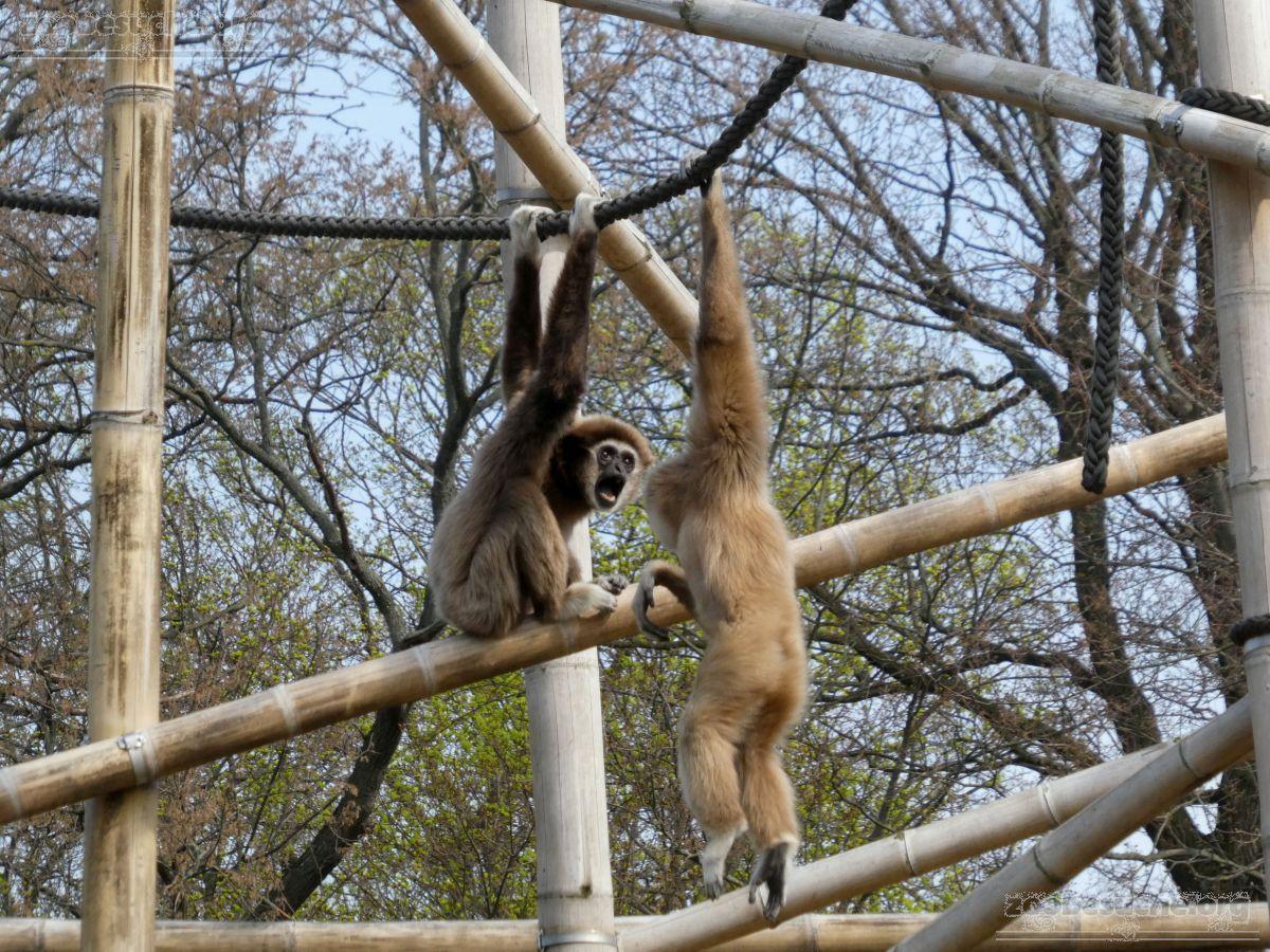 Gibbon  (10)