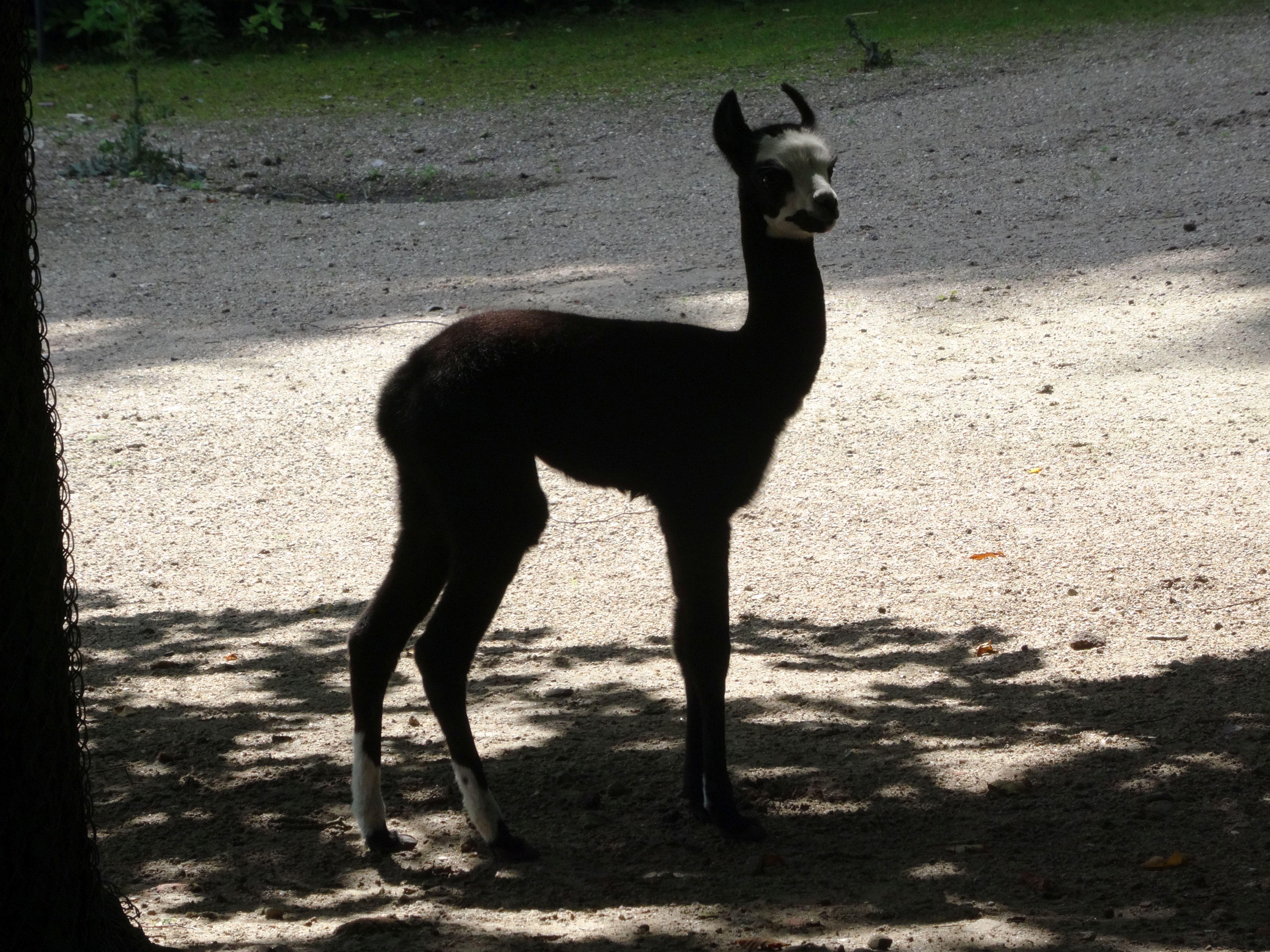 Lama  (2)