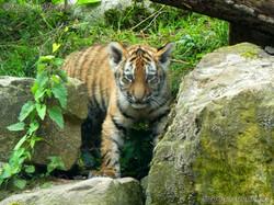 Tiger Jungtiere  (40)