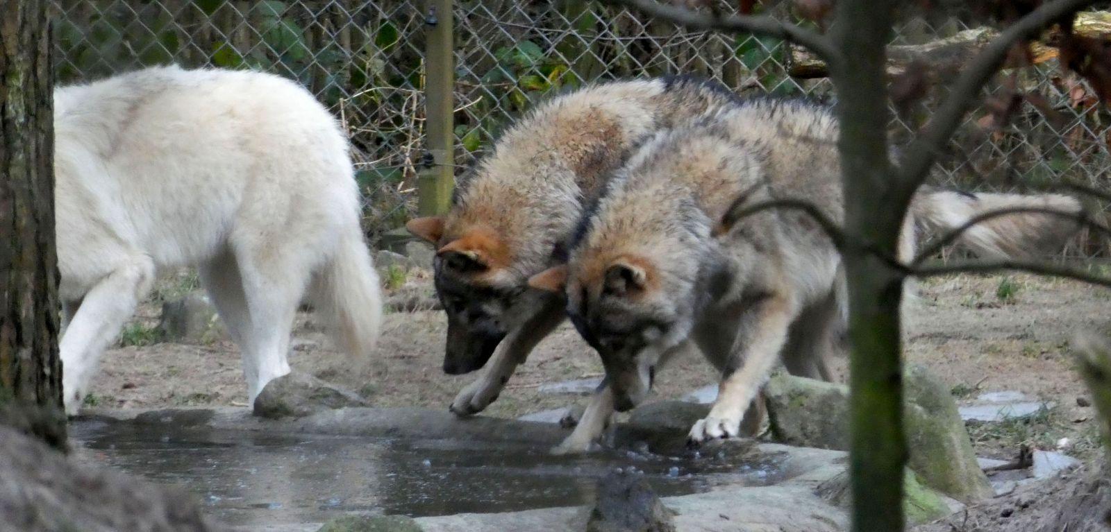 Wolf  (18)