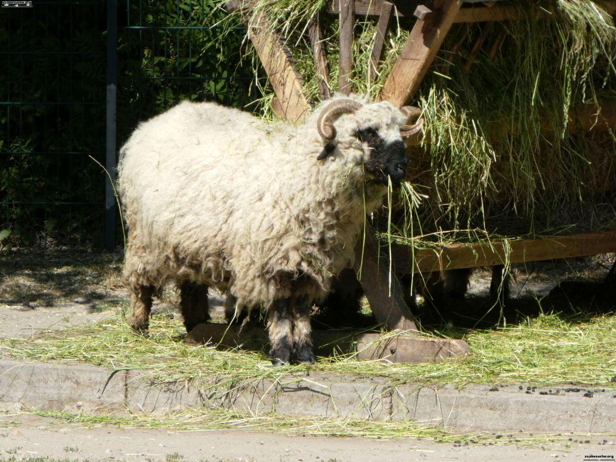 Walisisches Schwarznasenschaaf  (3)
