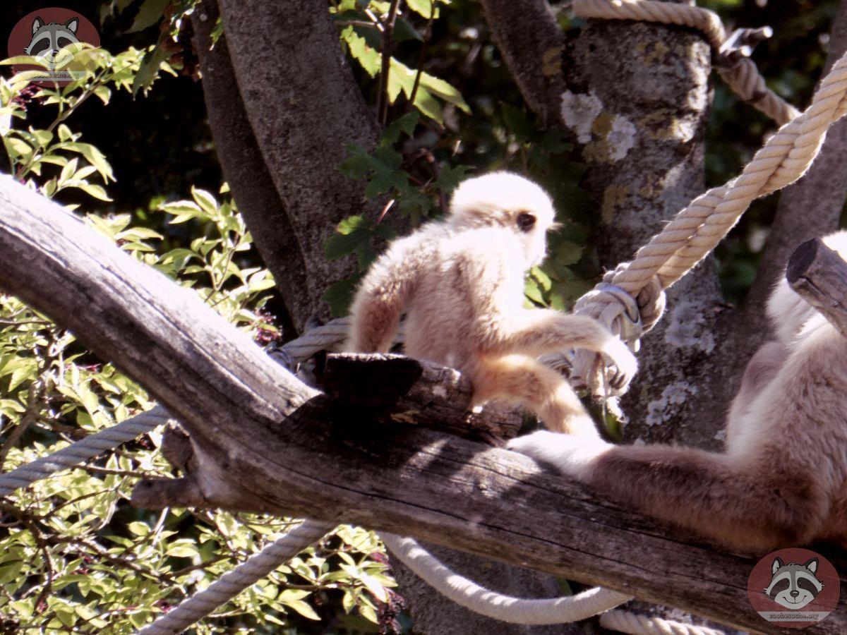 Weißhandgibbon  (7)