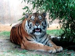 Tiger Aljosha  (4)
