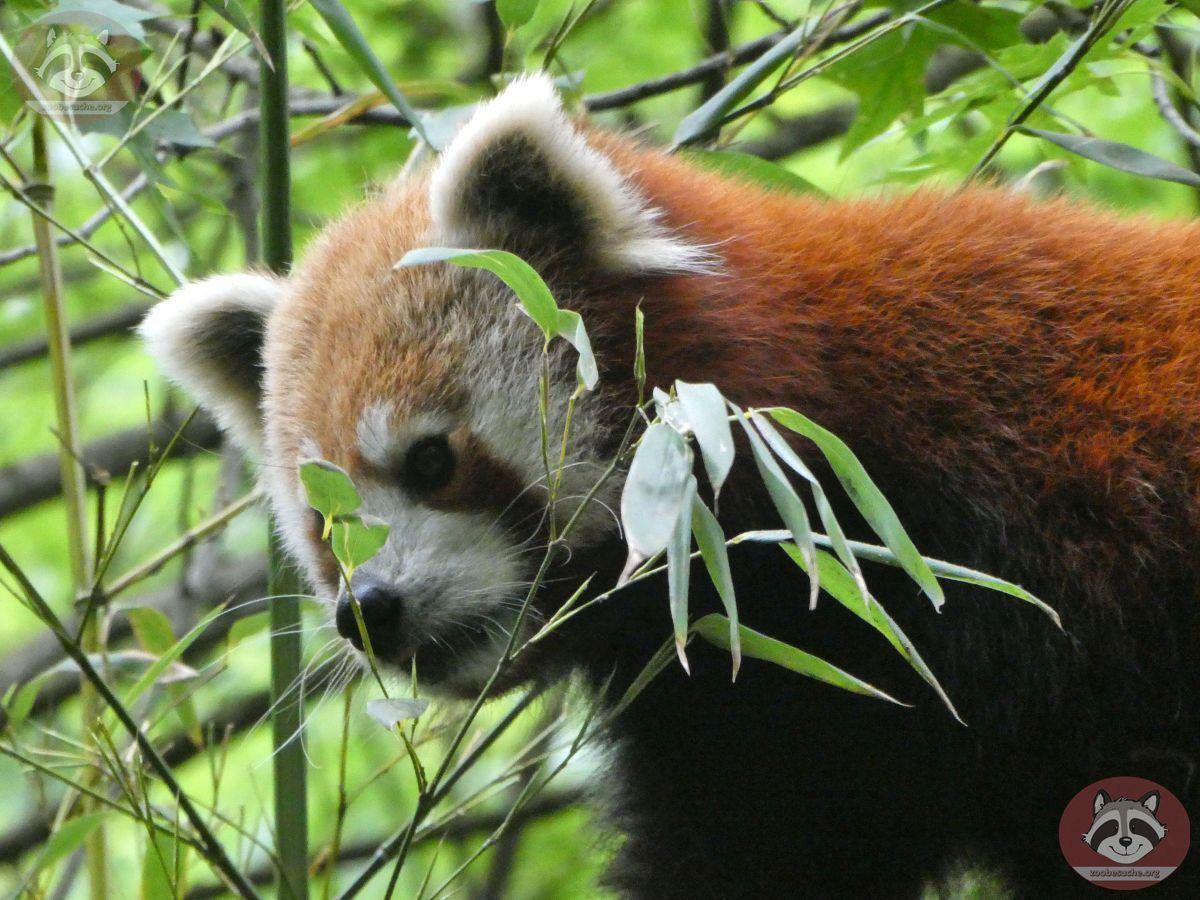 Roter Panda  (24)