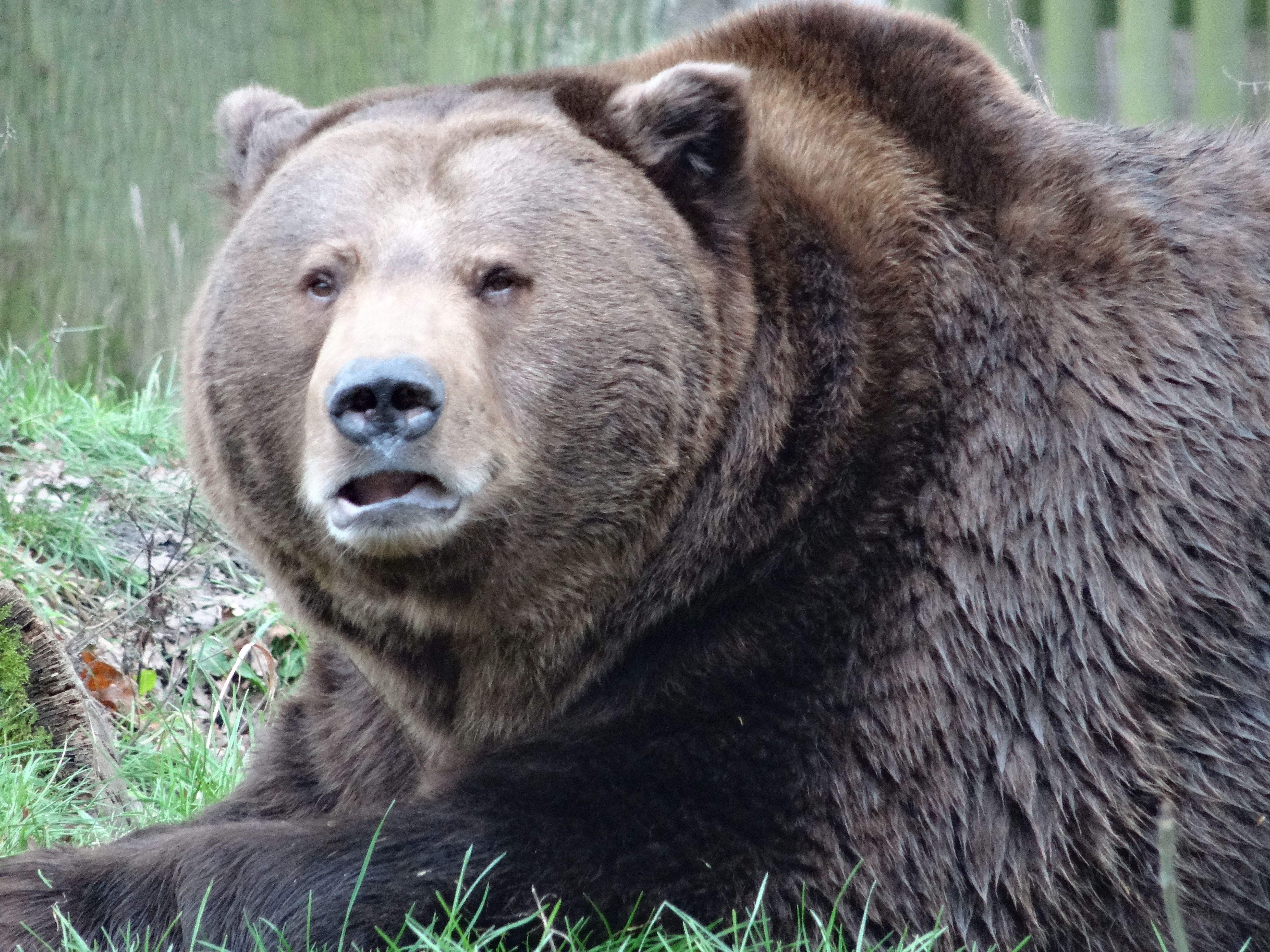Braunbär  (3)