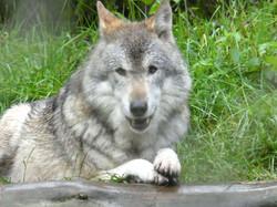 Wolf  (4)