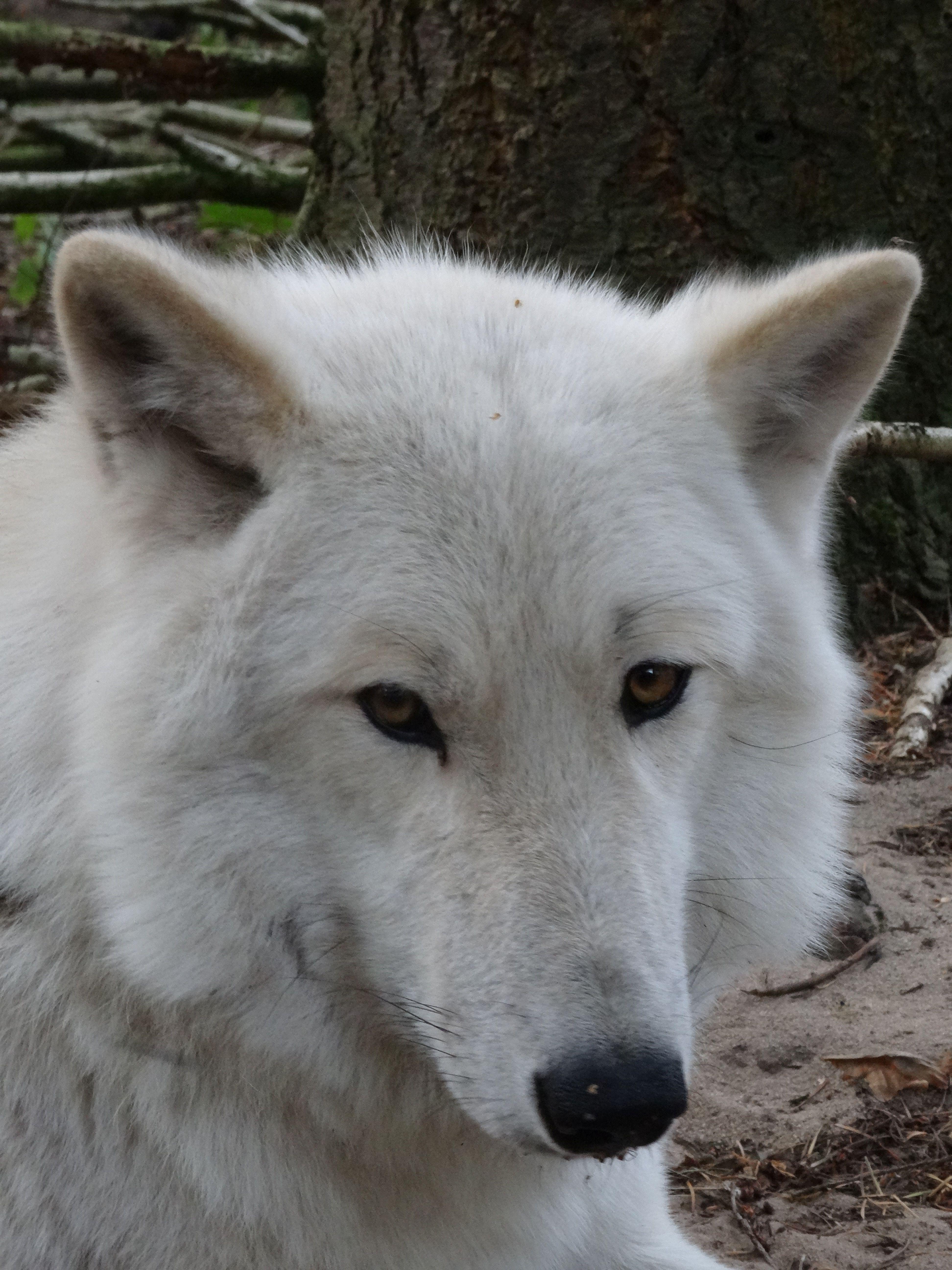 Hudson-Bay Wolf