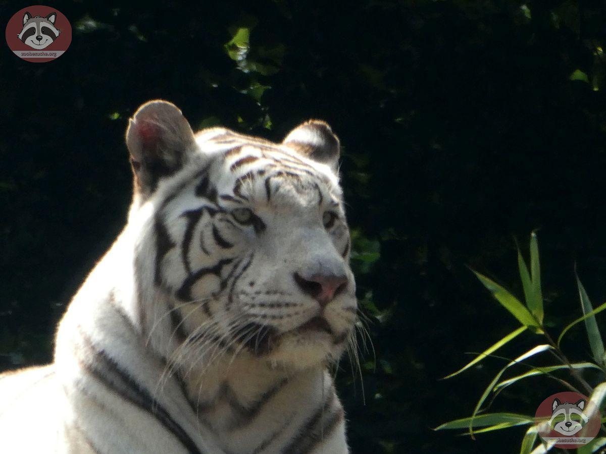 Weiße Tiger (4)
