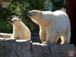 Eisbären_Milana_und_Nana_(14)