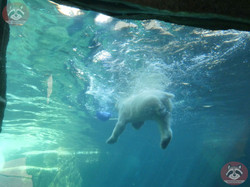 Eisbären  (17)