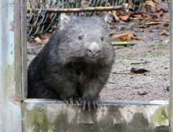 Wombat Maya  (3)