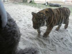 Tiger Jungtier mit Wuschel  (7)
