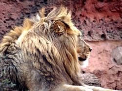 Löwe Basu