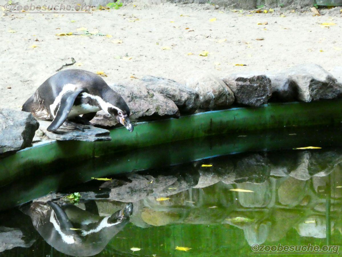 Humbolt Pinguine  (2)