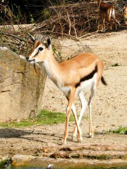 Elenantilope  (2)