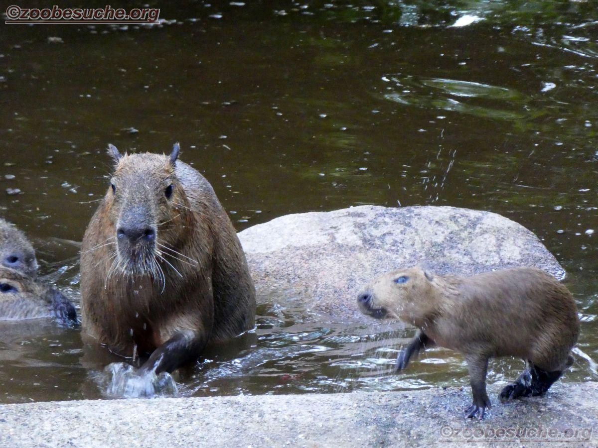 Wasserschwein (4)