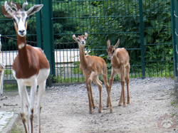 Mhorr Gazelle  (5)