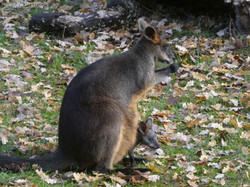 Sumpfwallaby  (4)