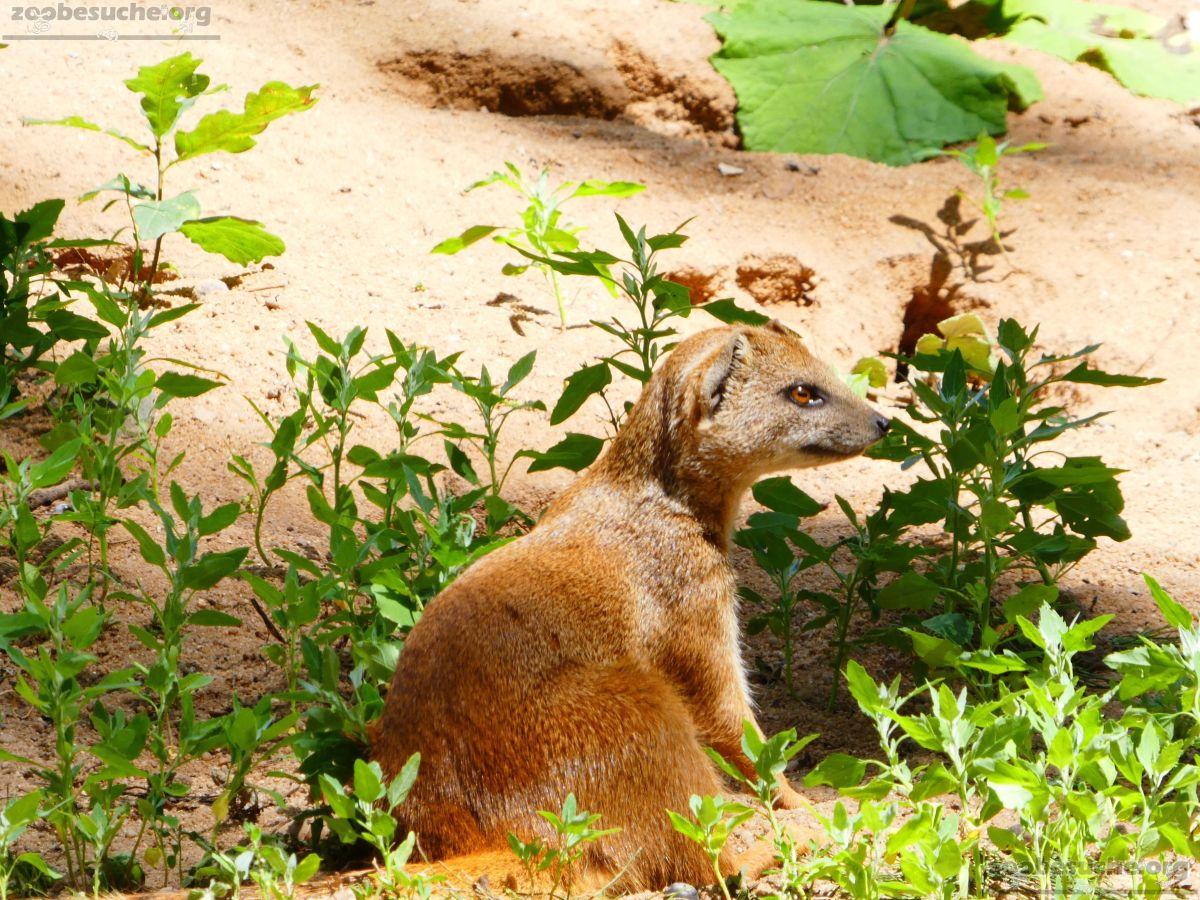 Fuchsmanguste  (4)