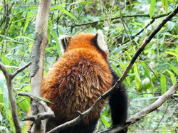 Roter Panda  (8)