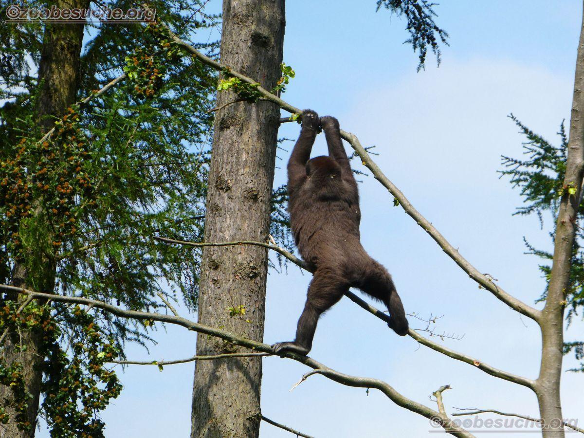 Gorilla  (7)