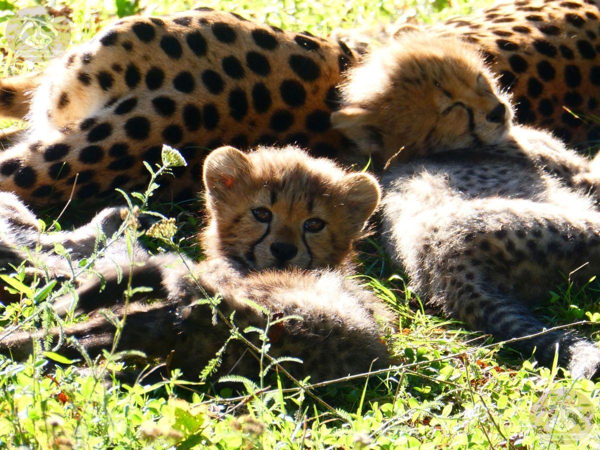 Gepard (7)