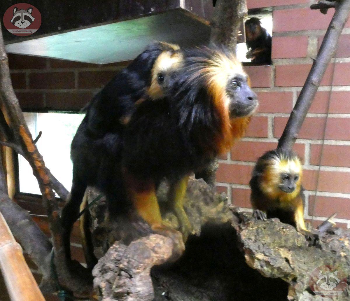 Goldkopflöwenäffchen (4)