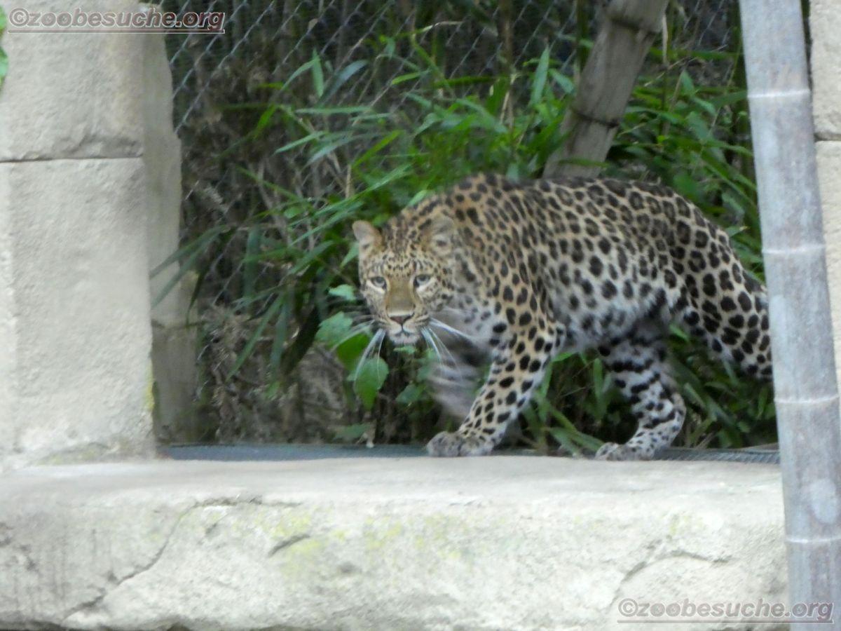 Leopardin Cleo (3)