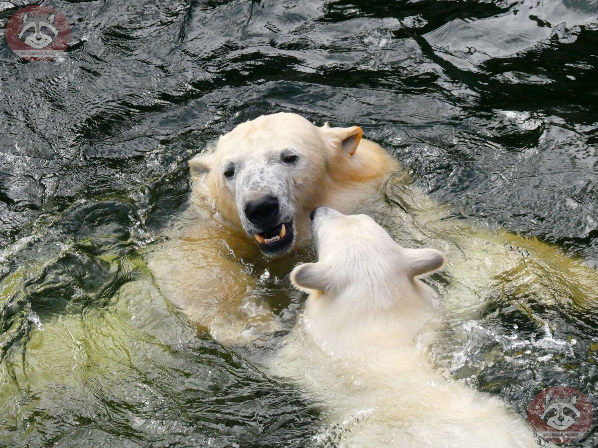Eisbären_Nana_und_Milana_(17)