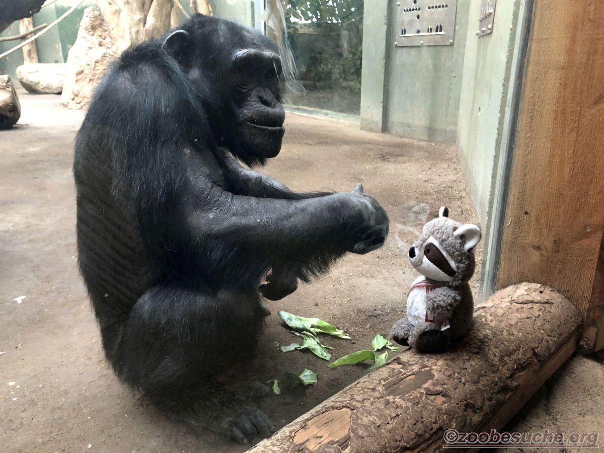 Wuschel mit Schimpanse  (1)
