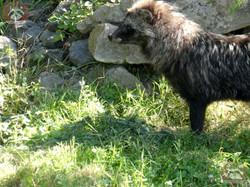 Marderhund (2)