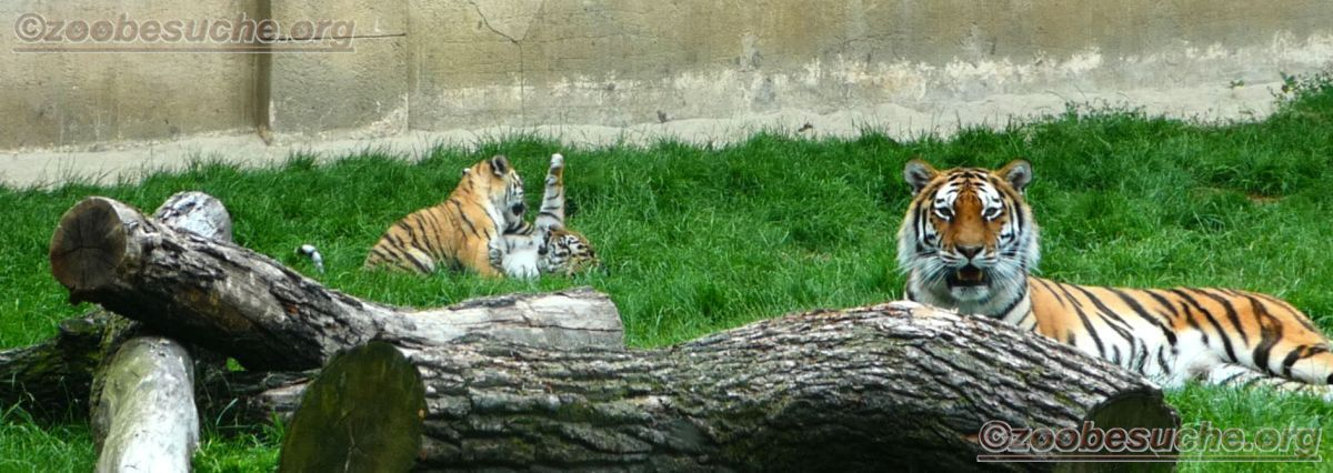 Tiger Jungtiere  (5)