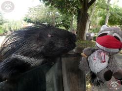Stachelschwein mit Wuschel (4)