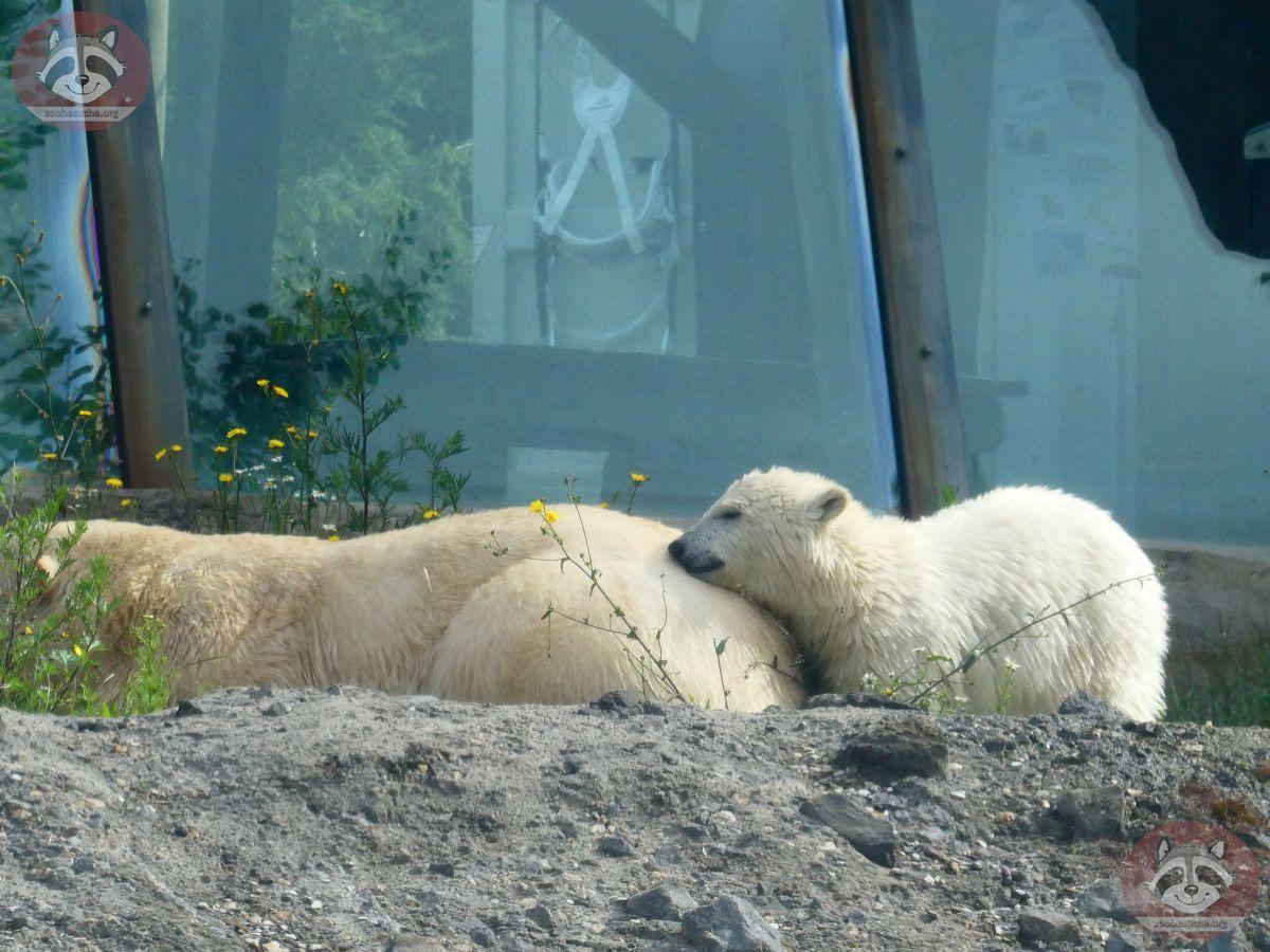 Eisbären_Nana_und_Milana_(3)