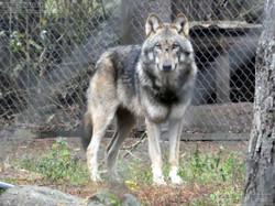 Europäischer Wolf  (4)