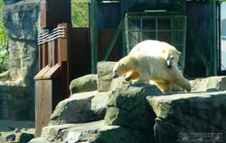 Eisbären_Milana_und_Sprinter__(36)