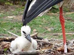 Storche  (2)