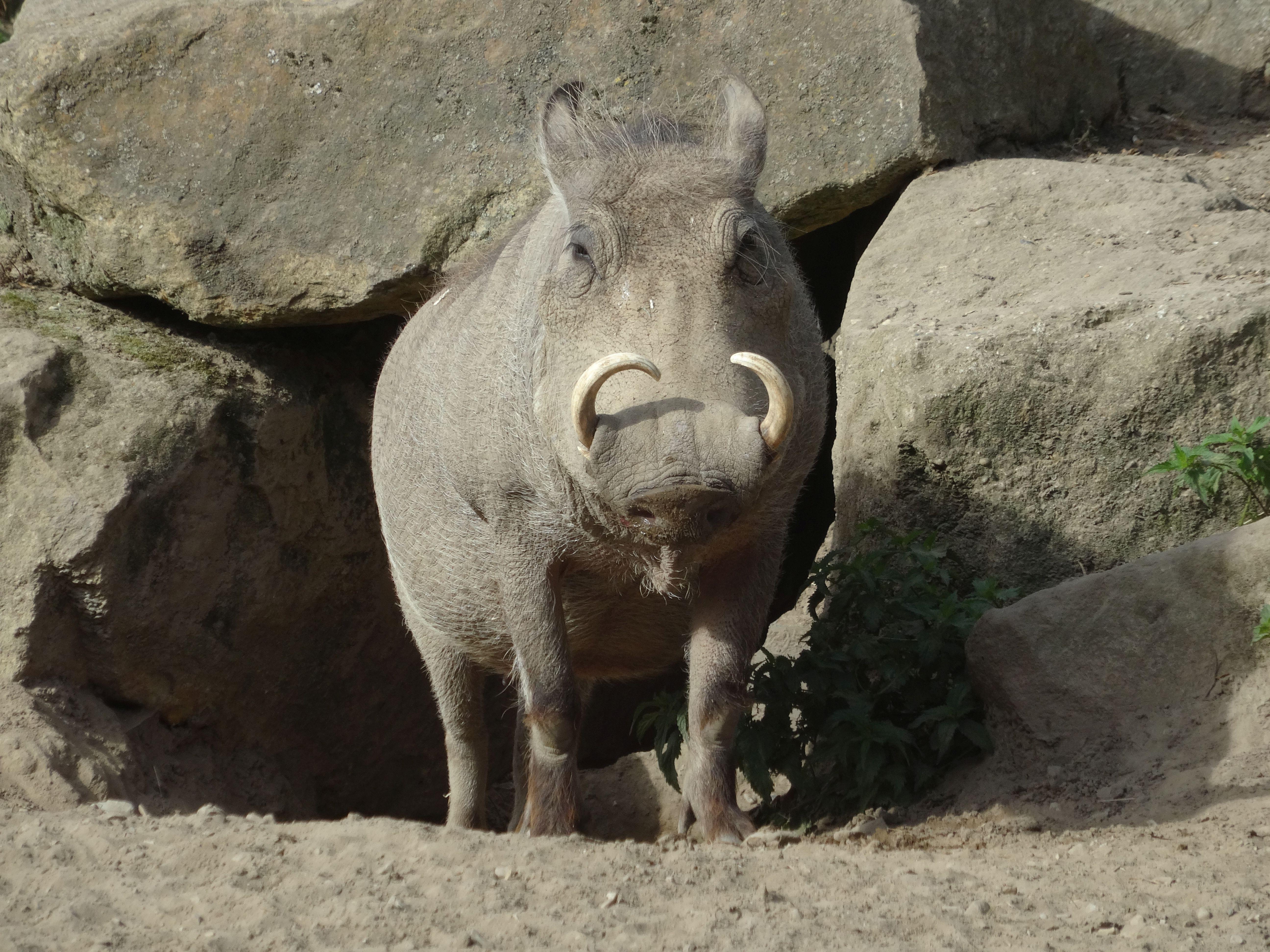 Warzenschwein  (3)
