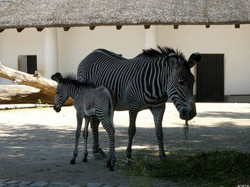 Zebra  (127)