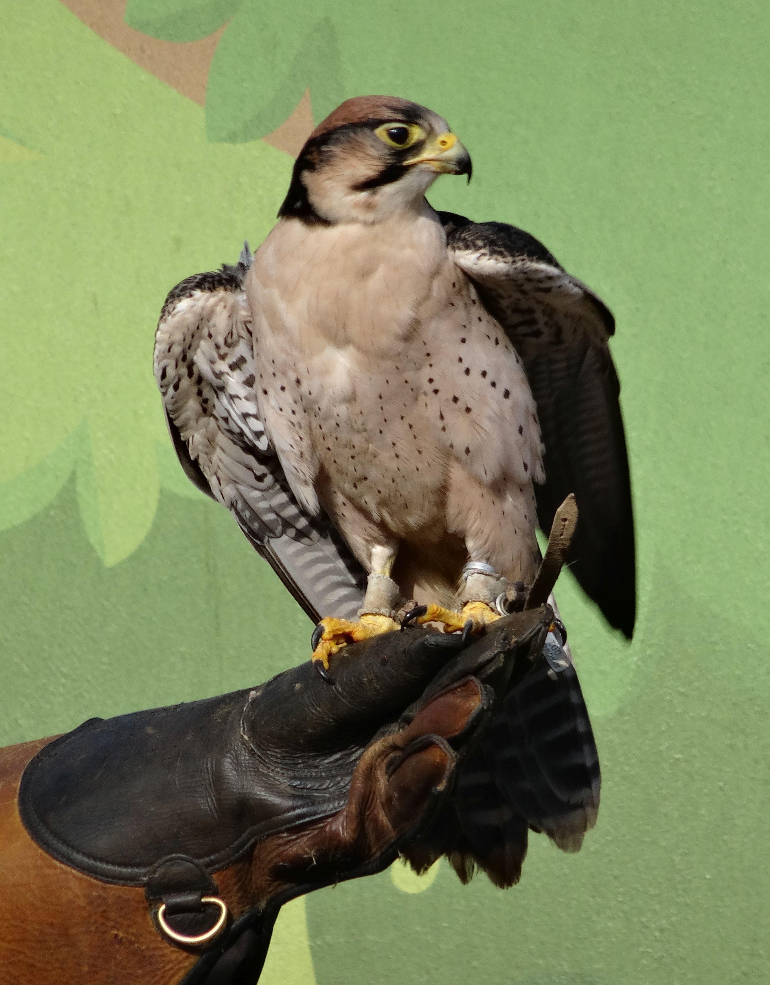 Falke  (6)