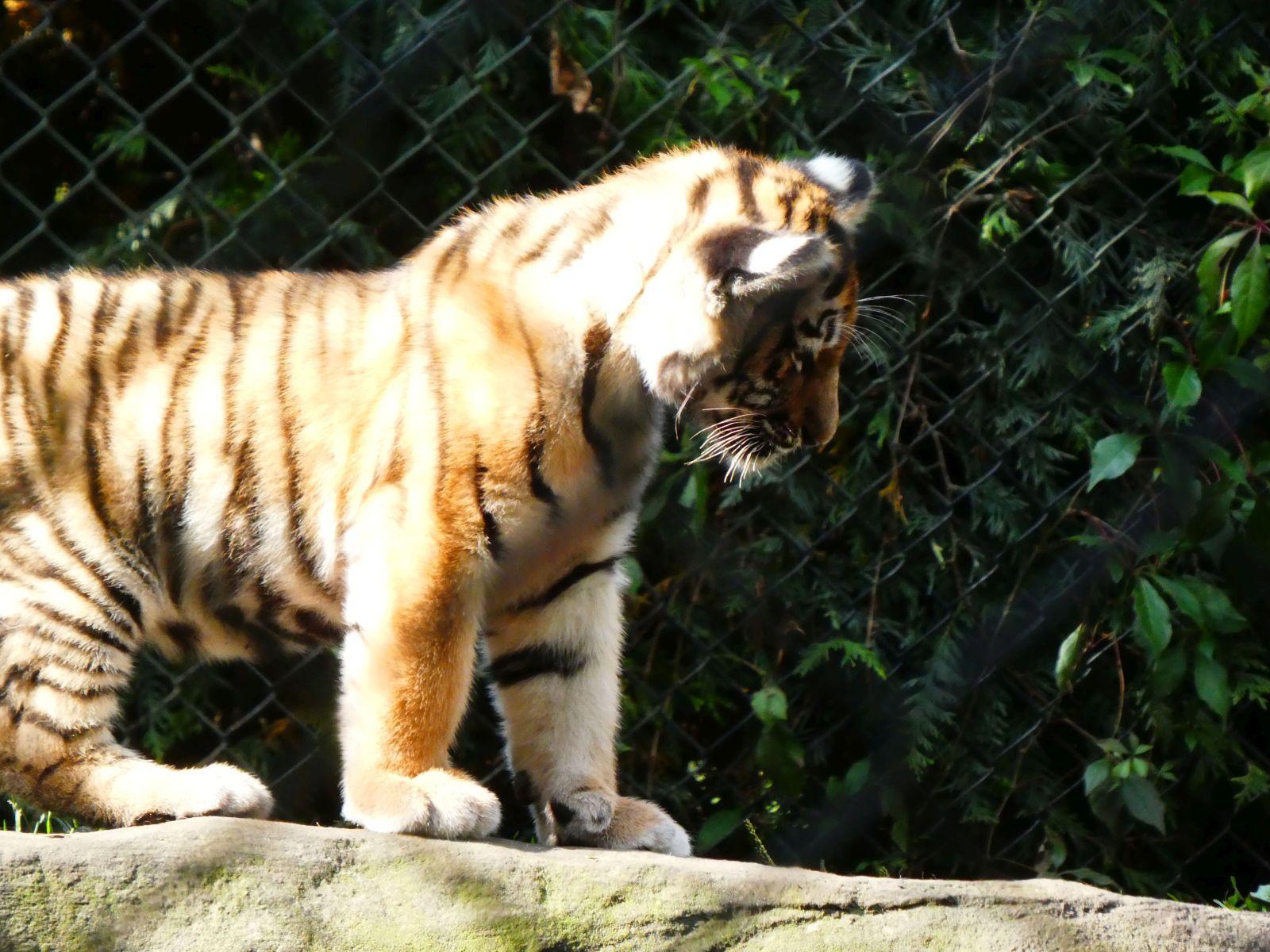 Tiger  (47)