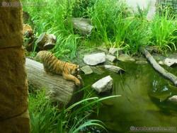 Tiger Jungtiere  (23)