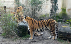 Tigerin Alexa mit Jungtier  (1)