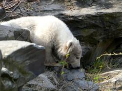 Eisbär  (97)