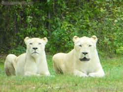 Weißer Löwe  (3)