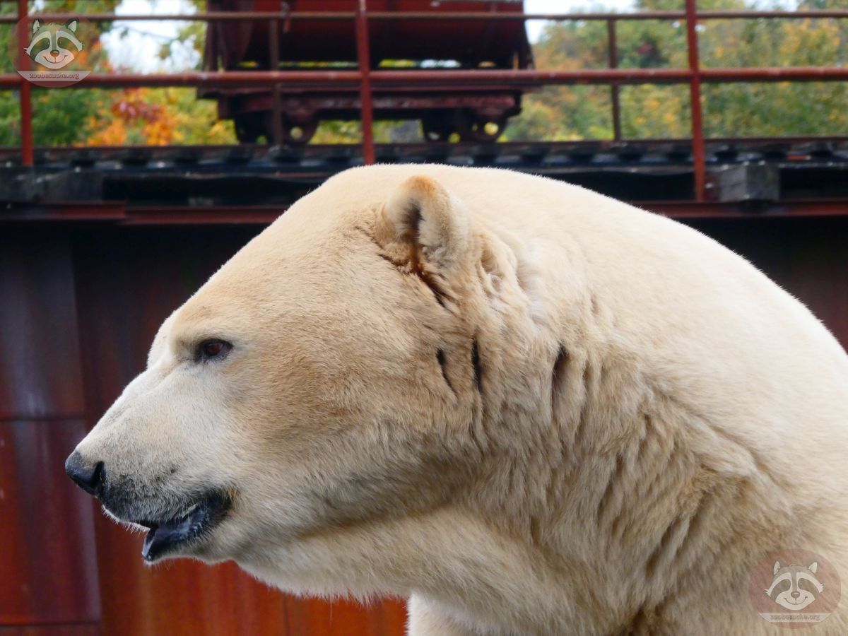 Eisbär Sprinter (7)