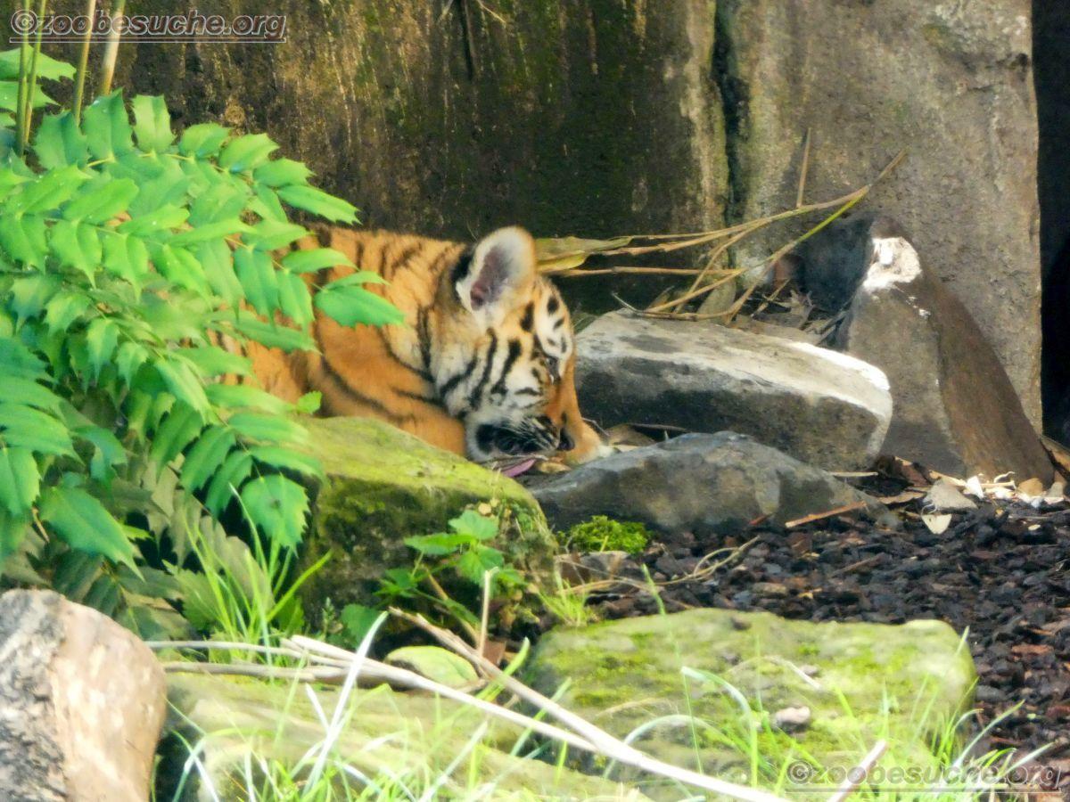 Tiger (31)